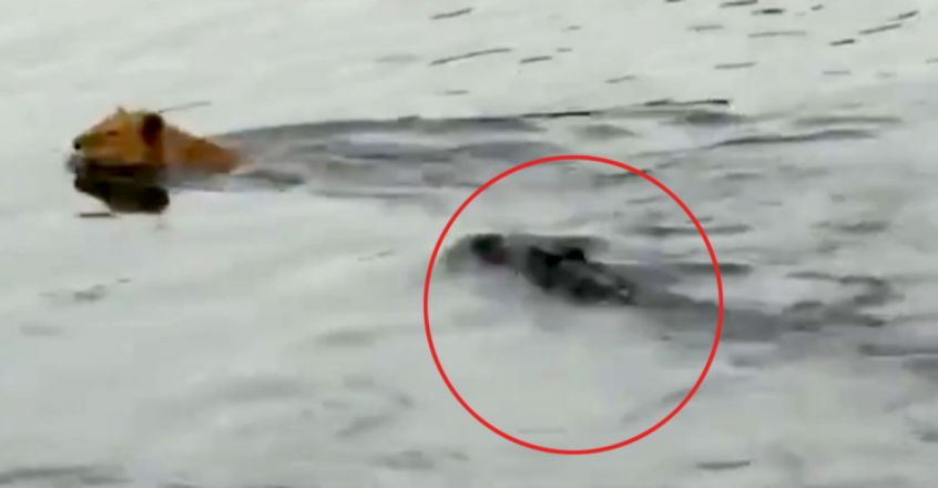 Lion manages to slip away from a crocodile attack