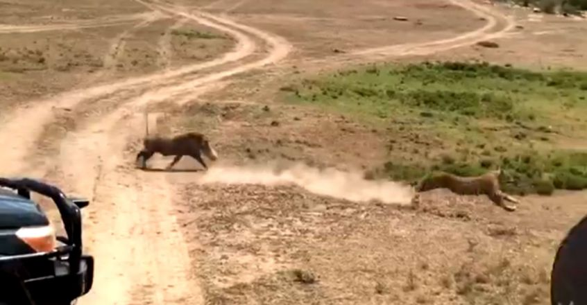 Mother Warthog Save Baby From Leopard