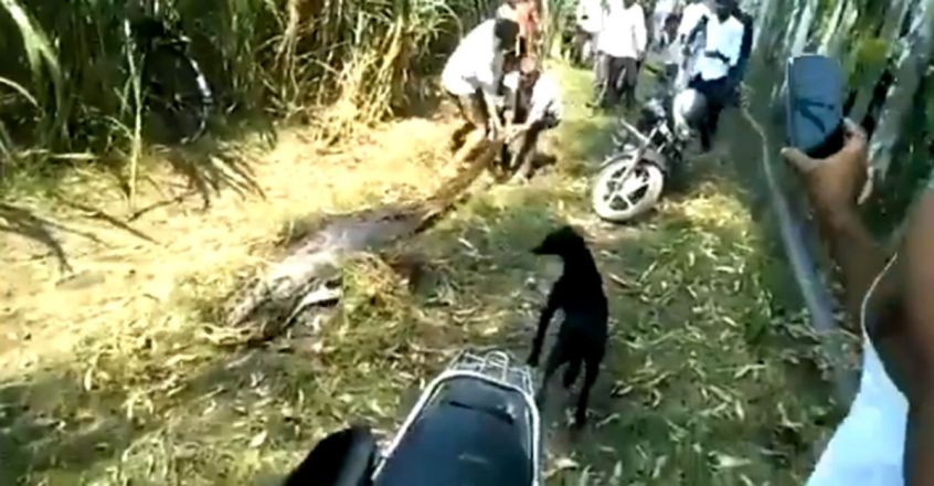 Python that had just swallowed deer dragged by villagers, dies