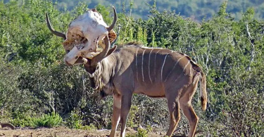Clumsy antelope Kudu tries to get an elephant skull off its head after it became stuck during rutting practice in South Africa