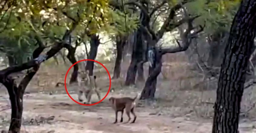 A Fearless Stray Dog Fights A Lioness