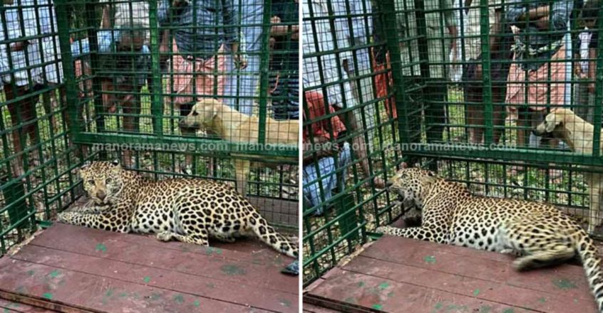 Elusive leopard trapped in cage