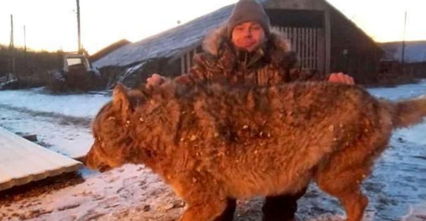 Russian Man Has His Revenge As He Puts Wolf To Death After It Killed His Two Dogs