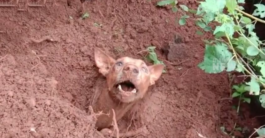 Mama Dog And Her Puppies trapped under mudslide