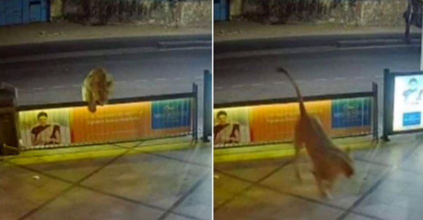 Lion Enters Hotel In Gujarat By Leaping Over Wall