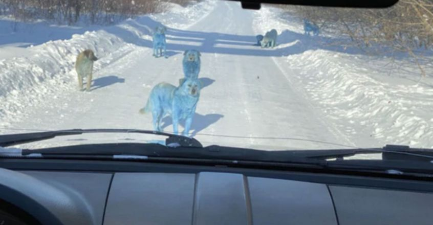 Pack Of Bright Blue Stray Dogs Spotted In Russia