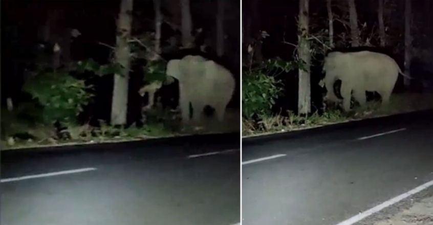 Wild elephants roam in and around Athirappilly