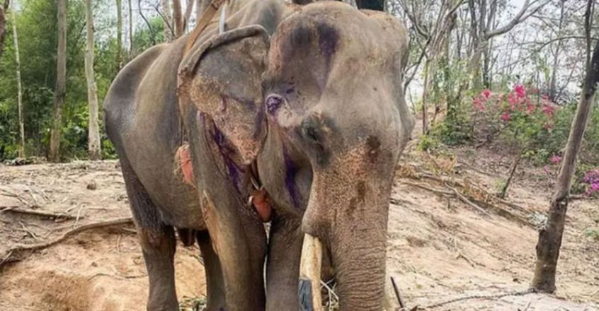 Rescuers Battle to Save Starving Elephant Found 'Days From Death'