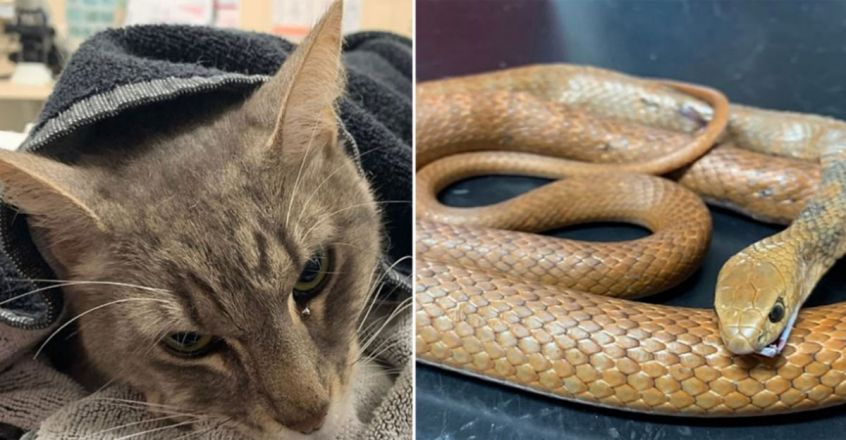 Family cat dies trying to protect young children from Australia's most dangerous snake