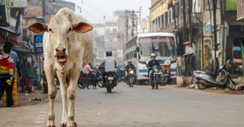 Ate fruit from cart, cow stabbed in abdomen by vendor in Maharashtra