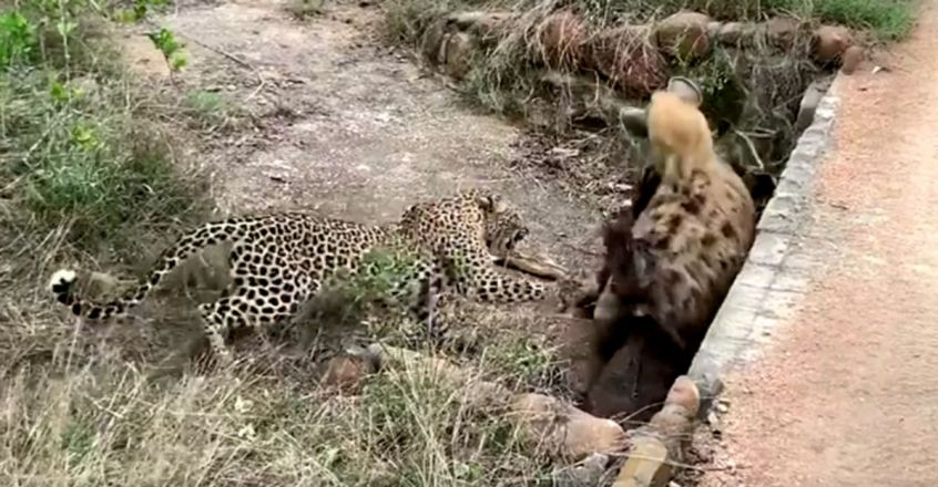 Leopard Battles Much Larger Hyena in Tug-of-War Over Impala Carcass
