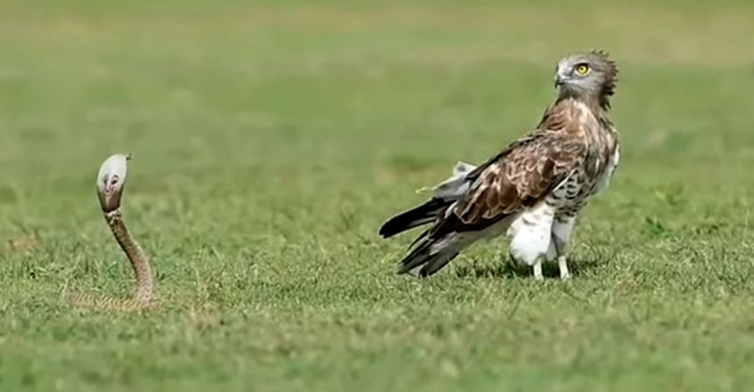 Fearsome Indian Cobra Scares Away Eagle
