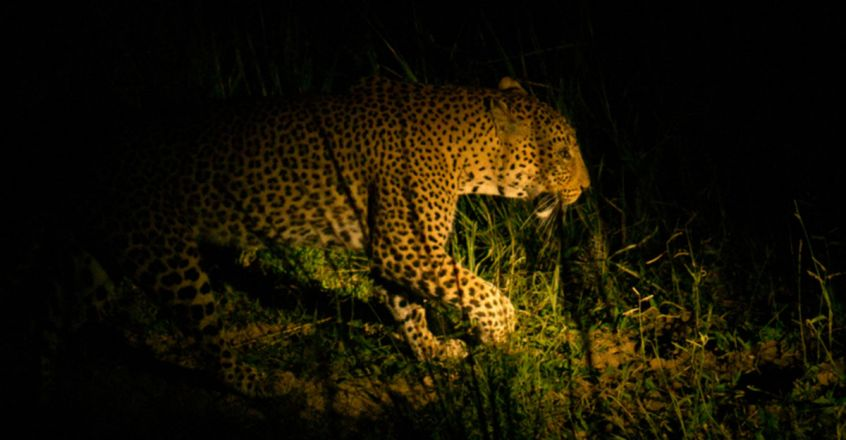 Attack on animals by leopard triggers fear
