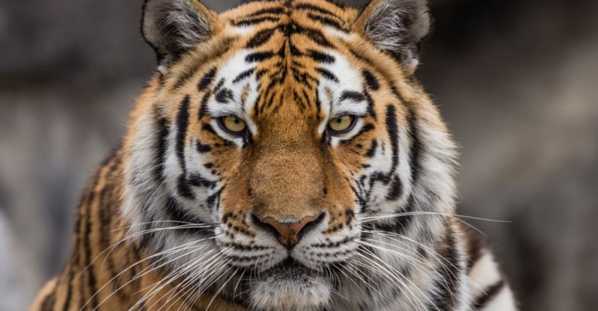 Forest officials accused of cutting tiger's moustache for amulet; guard complains to Ashok Gehlot