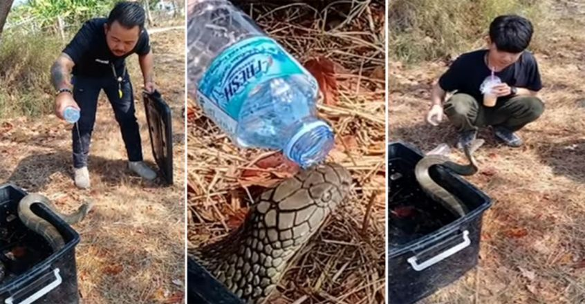 Thirsty King Cobra Drinks Water From Bottle