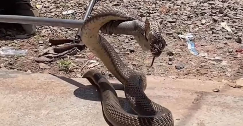 Cobra caught hiding in family's kitchen in southern Thailand