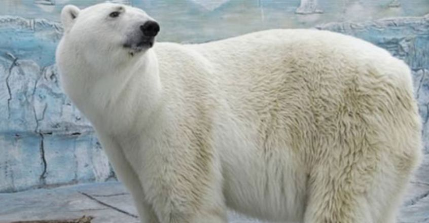 Polar bear dies after swallowing a rubber ball thrown into its enclosure by a visitor at Russian zoo