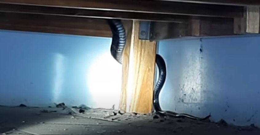 scary-king-cobra-caught-under-womans-wooden-bed