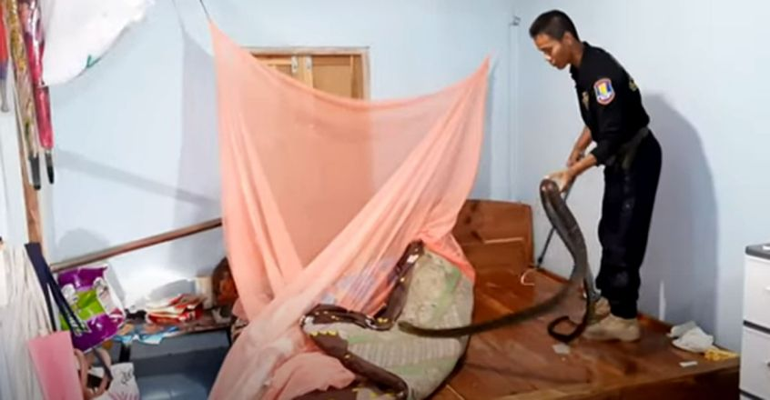 Scary Cobra Caught Under Woman's Wooden Bed