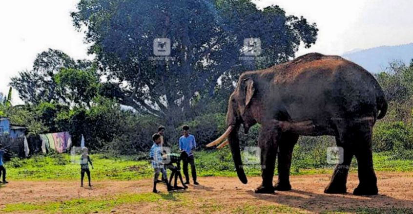 Forest Dept. to make one final effort to drive Rivaldo back into the wild