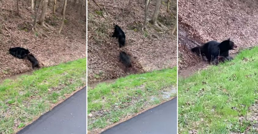 Bear's almighty battle to bring down an adult feral hog