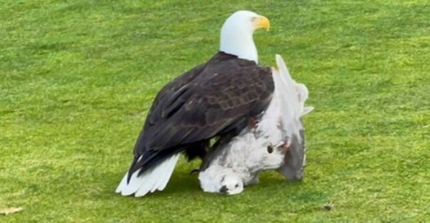 Bald Eagle Snatches a Seagull in Mid-Air at a Golf Course