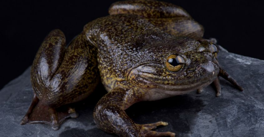 The World's Biggest Frogs Are So Chunky, They Shift Rocks to Build Their Own Ponds