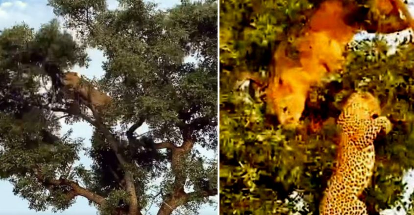 Lion Tries Stealing from Leopard – Both Fall Out Tree While Fighting For Food