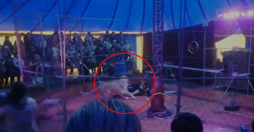 Lioness Attacks Circus Trainer In Front Of Shocked Audience
