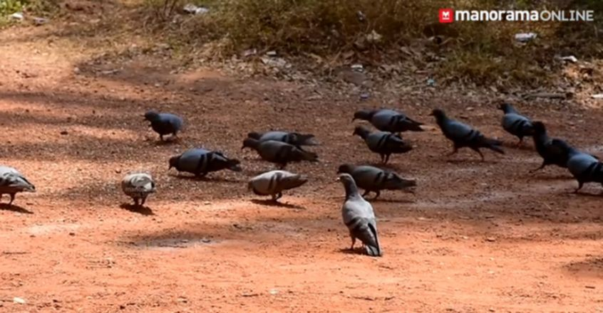 Lockdown or not, 100s of pigeons wait for Abbas every morning