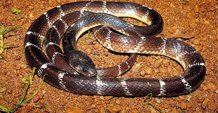 Tamil Nadu: Man chews dead snake 'to keep COVID-19 at bay', arrested & fined by forest department