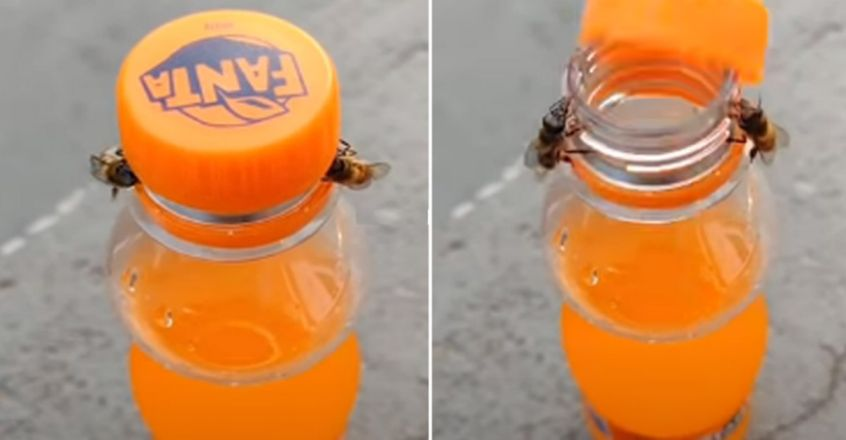 Two Bees Work Together To Open A Bottle In Jaw-Dropping Clip