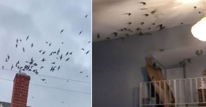 Hundreds of birds swoop down California family's chimney in wild invasion