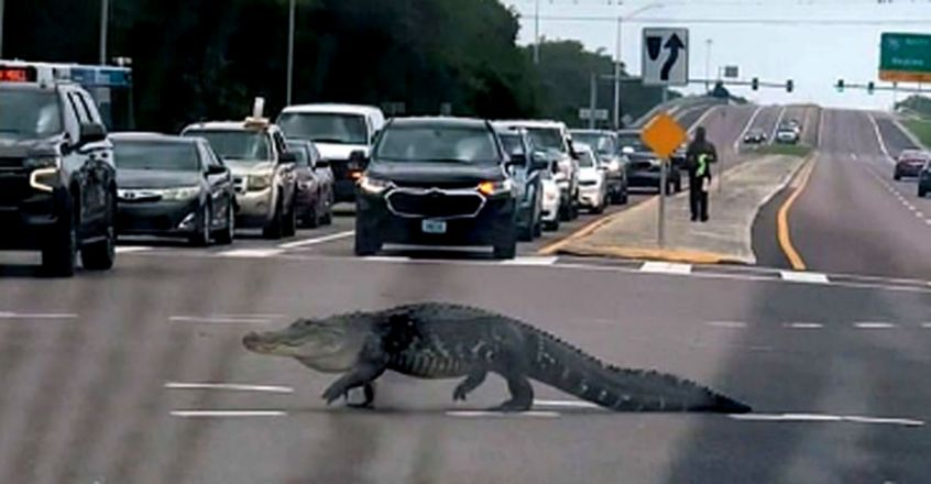 Alligator strolls across busy Tampa junction after waiting for police escort
