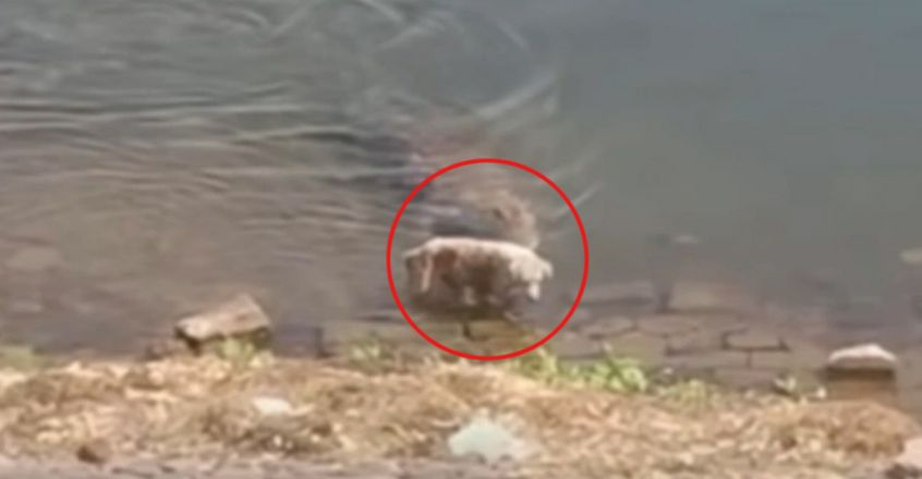 Horror moment huge crocodile grabs whimpering dog from river bank as it drinks and drags pooch to its death in Rajasthan