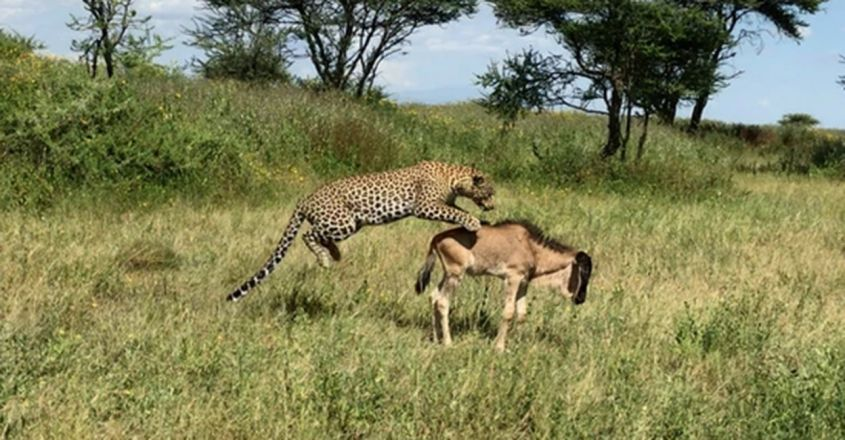 Leopard Gives Baby Wildebeest the Fright of its Life!