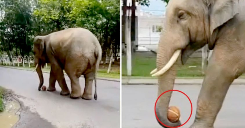 Wild elephant plays with basketball in viral video from Guwahati