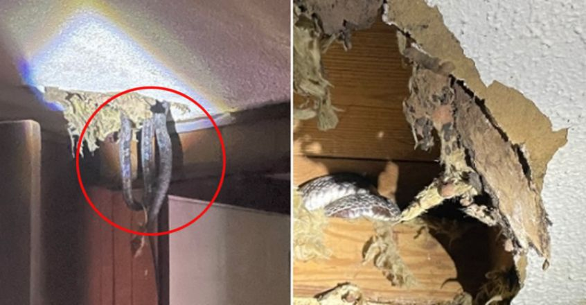 Family in the US shocked to discover four snakes living in their roof