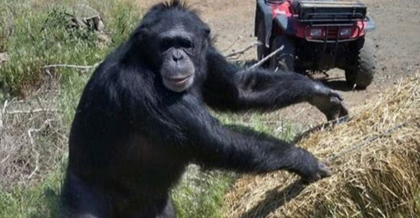 Oregon deputy fatally shoots chimpanzee after it bites owner's daughter