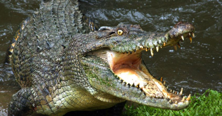 Notorious Giant Crocodile Rumored to Have Killed Over 300 People