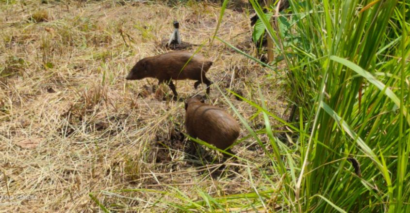 Assam release endangered pygmy hogs in to the wild