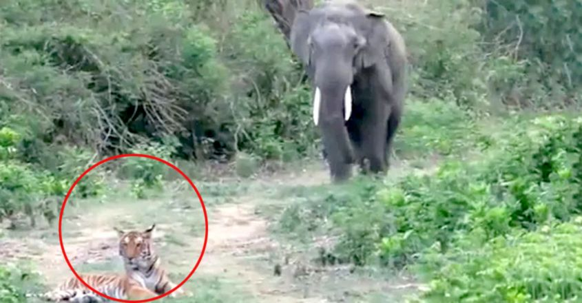 Elephant Comes Across Tiger While Walking. Watch What Happens Next