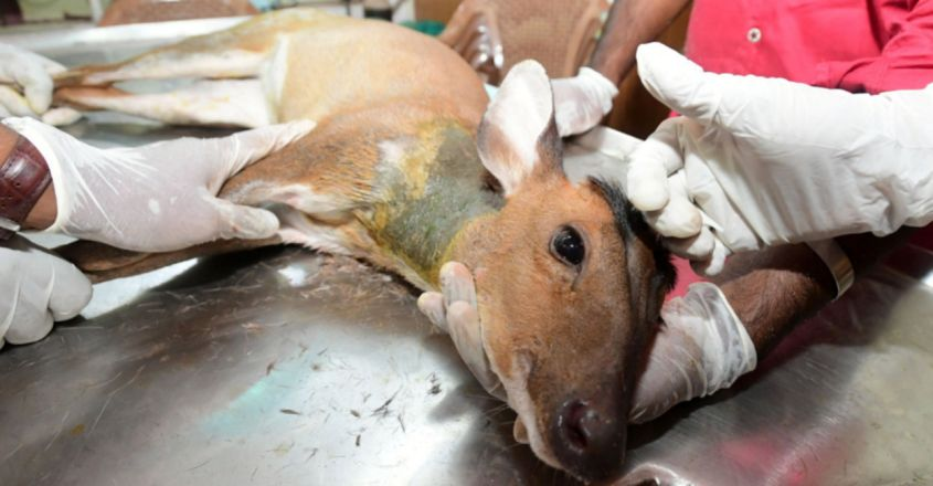 Deer, Chased By stray Dogs, Spotted In Kannur, Rescued