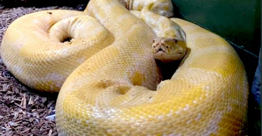 12-foot-snake-escapes-from-zoo-found-in-shopping-mal1