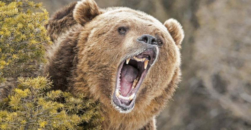 Grizzly bear shot dead after dragging woman from tent and killing her