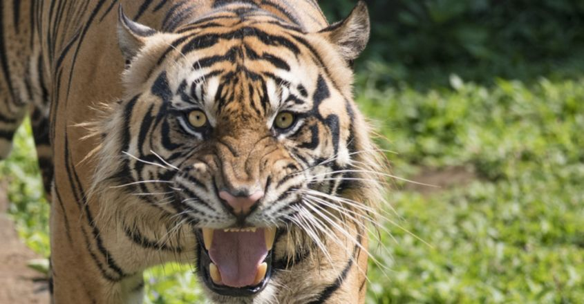 Two People Killed By Tiger In Uttar Pradesh's Pilibhit Tiger Reserve