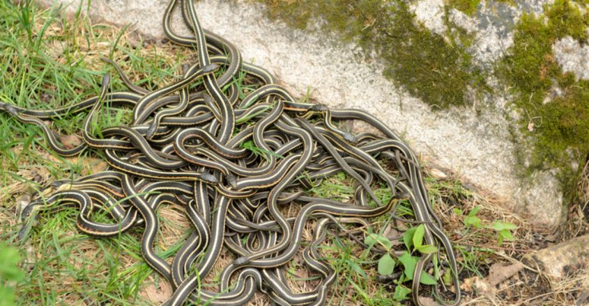 Georgia Woman Finds Snake Nest Under Bed With Mother and 17 Babies
