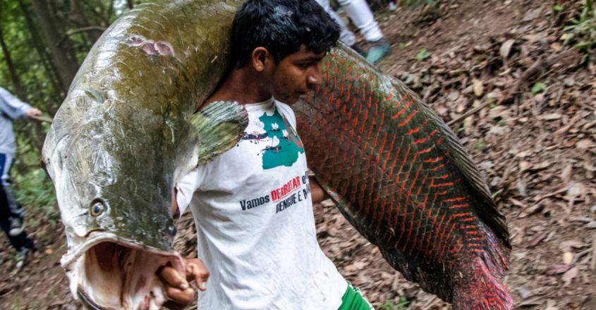 Arapaima fish scales are extremely tough because they made of tissue arranged in the Bouligand structure