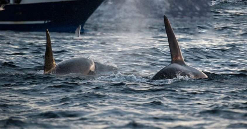 British yacht crew feared they would sink and drown as 30 killer whales attacked boat