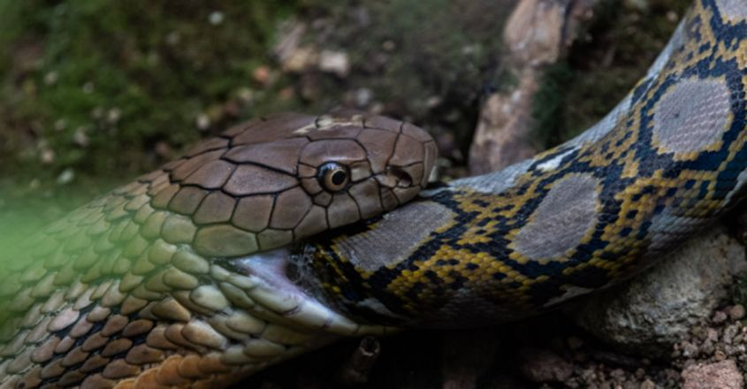 Watch this king cobra eat an entire python in 45 minutes